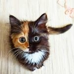 Yana Two Face Cat